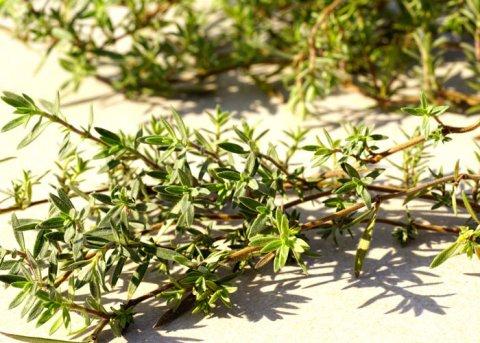 Rosenduftthymian (Pflanze)