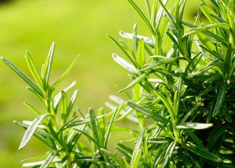 Rosmarin 'Cinzago Murro' (Pflanze)