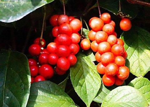 Schisandra (Pflanze)