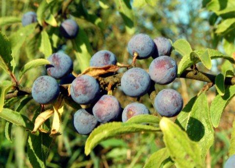 Schlehe - Schwarzdorn (Pflanze)