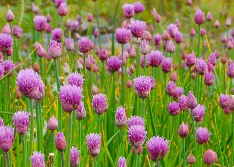 Schnittlauch (Pflanze)