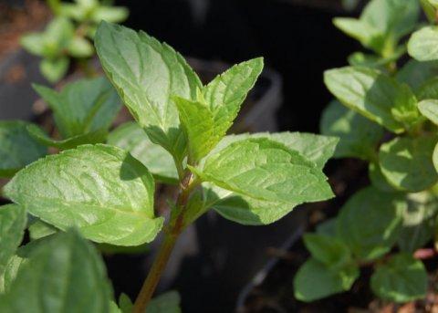 Schokoladenminze (Pflanze)