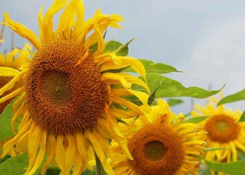 Sonnenblume (Saatgut)