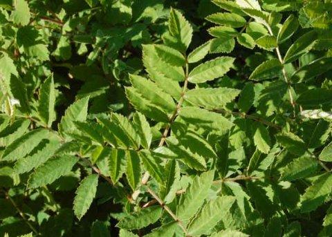 Speierling (Pflanze)