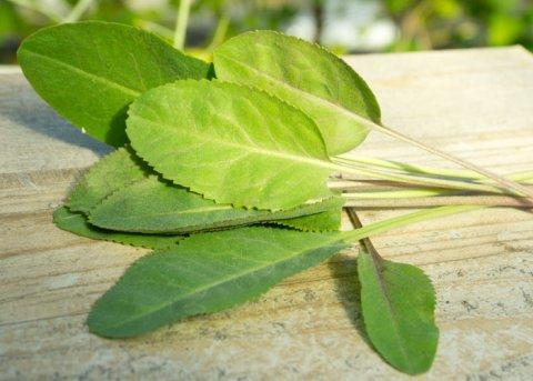 Pfefferkraut, Staudenkresse (Pflanze)