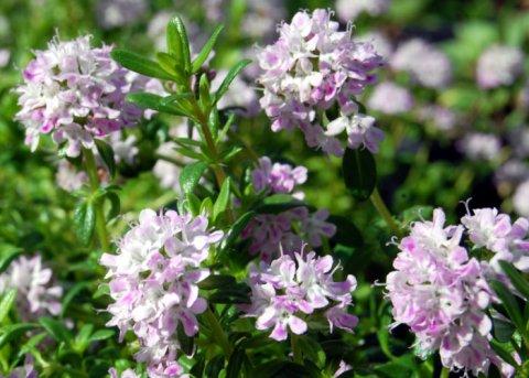Kaskadenthymian (Pflanze)
