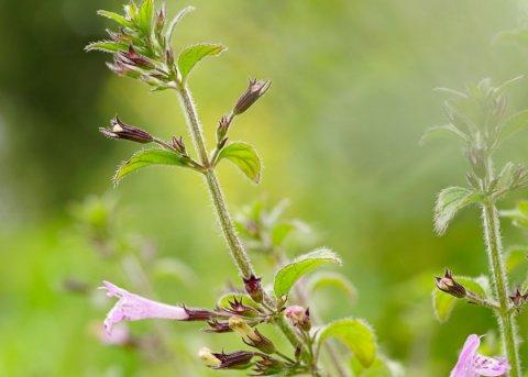 Waldbergminze (Pflanze)