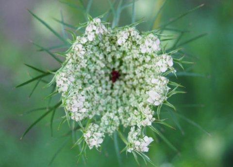 Wilde Möhre (Saatgut)