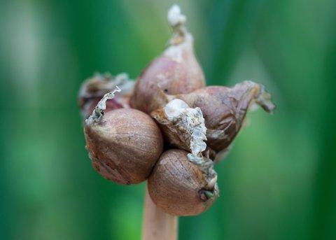 Etagenzwiebel (Pflanze)