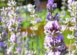 Provence-Lavendel 'Julien' (Pflanze)
