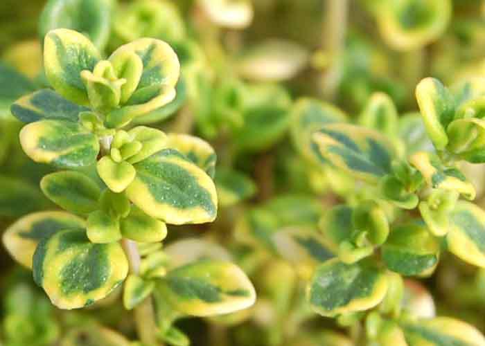 zitronenthymian pflanzen