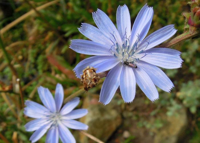Wegwarte Zichorie Cichorium Intybus Samen Gärtnerei Gartenrot