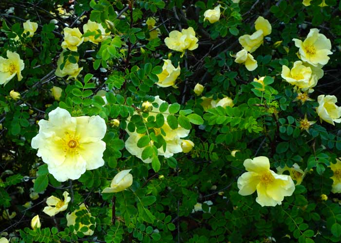 chinesische goldrose rosa hugonis g rtnerei gartenrot. Black Bedroom Furniture Sets. Home Design Ideas
