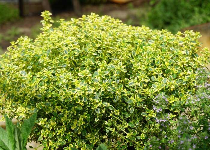 gelber zitronenthymian 39 aureo 39 thymus vulgaris citriodora. Black Bedroom Furniture Sets. Home Design Ideas