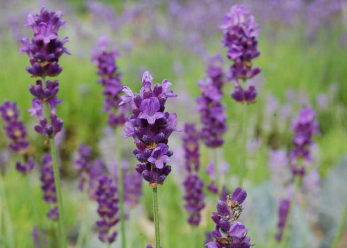 lavendel 39 peter pan 39 lavandula angustifolia g rtnerei gartenrot. Black Bedroom Furniture Sets. Home Design Ideas