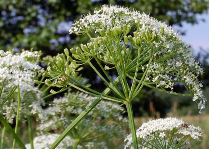 Wiesenkerbel (Anthriscus sylvestris) Samen - Gärtnerei ...