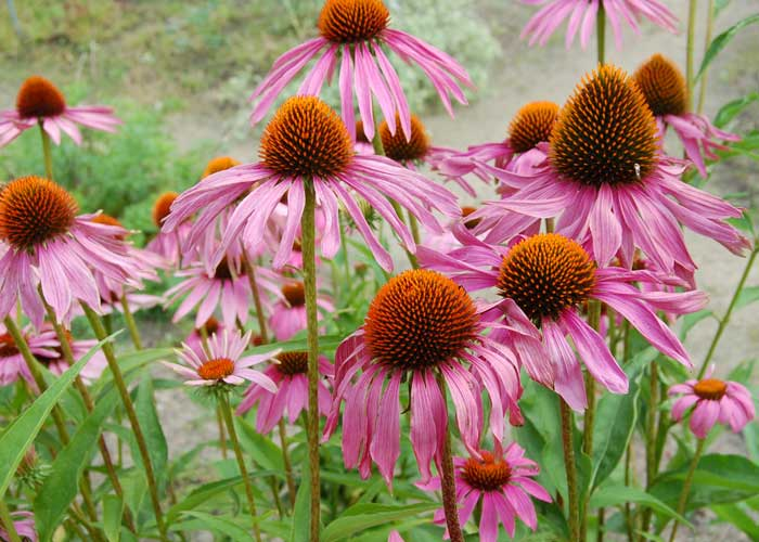 echinacea angustifolia g rtnerei gartenrot. Black Bedroom Furniture Sets. Home Design Ideas