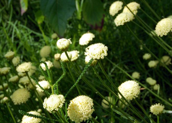 olivenkraut santolina viridis pflanzen kaufen g rtnerei gartenrot. Black Bedroom Furniture Sets. Home Design Ideas